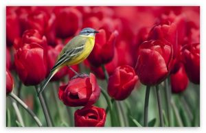 bird_and_red_tulips-t2